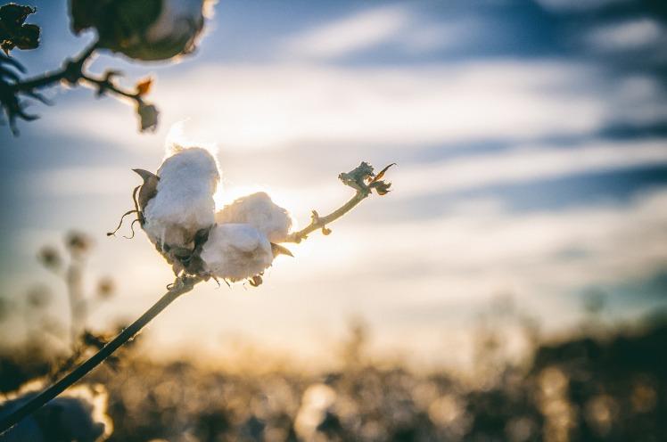 cotton-2807362_1920
